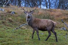 Red Deer Likely Got a Boat Ride to the Scottish Isles 5000 Years Ago