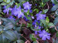 Vinca Major mit großen blauen Blüten