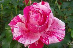 Le Rose - Azienda Agricola Ramponi Natale - Rose Meilland®