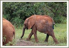 The David Sheldrick Wildlife Trust Updates Alamaya after surgery