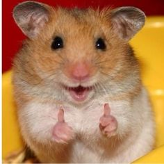 Easy Science for Kids All About Hamsters - Cute Little Animals. Learn more about Hamsters with our Online Science Facts for Kids on Hamsters! Cute Little Animals, Cute Funny Animals, Funny Cute, Hilarious, Funniest Animals, Top Funny, Funny Happy, Smiling Animals, Happy Animals