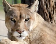 Zeus Cougar --- Purchase this print! #turpentinecreek #cougar