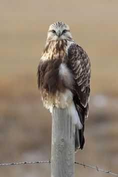 Fotografia Rough-legged Hawk de Terry Sohl na 500px