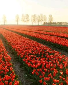 Swiss People, First Photo, Wander, Tulips, Countryside, Vineyard, The Creator, Orange, Outdoor
