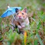 Hamster with umbrella