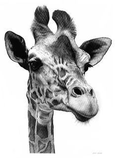 Giraffe Drawing  - Giraffe Fine Art Print