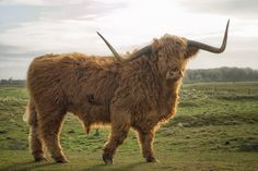 Bull on Tiptoe Scottish Cow, Scottish Highlands, Cow Cat, Fluffy Cows, Bull Cow, Highland Cattle, Bull Riding, Rodeo, Wales