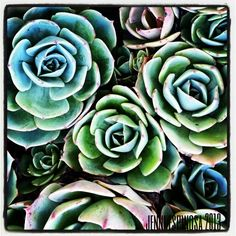 This is why I love succulents! The beautiful colors and shapes...so lovely... taken 2013