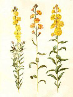 Cheiranthus cheiri Wallflower, Aegean wallflower