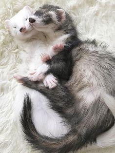 Ferret cuddles... #ferrets #cuteanimals #pets