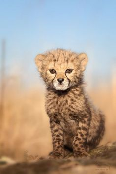 """ Cheetah cub .. the , intensity within those eyes ! """