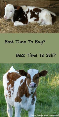 There's an art to buying and selling cows. But there can also be a gamble. Here are some pro's and con's for you to consider when buying cows and then selling them.