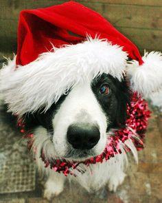 christmas border collie adorableness.