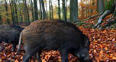 Im Wildpark in den Meller Bergen braucht man glücklicherweise kein Fährtenleser zu sein, um hier auf Schritt und Tritt niedlichen Wildschweinen zu begegnen.