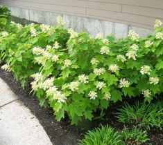 Hydrangea quercifolia 'Sikes Dwarf' Oakleaf Hydrangea information, pictures, GPS locations, and bloom dates. Where to buy Hydrangea quercifolia 'Sikes Dwarf' Oakleaf Hydrangea . Oakleaf Hydrangea Landscape, Dwarf Hydrangea, Smooth Hydrangea, Hydrangea Landscaping, Hydrangea Flower, Front Yard Landscaping, Hydrangeas, Hydrangea Quercifolia, Garden Shrubs