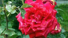 Piros rozsa!