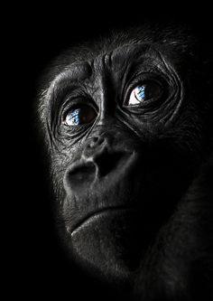 colorful animals | young gorilla | black