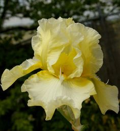 Tall bearded Iris Come To Me (Ben Hager, 1987) TB, 37 inches (94 cm), M & SA S. light yellow; F. cream white; yellow beard, white horns. Com...