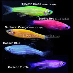 I would love a tank of Glofish (Danios that have been genetically modified with luminescent jellyfish genes) in the curio.