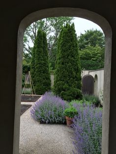 Nepata and Arborvitae in the walled garden at the barn
