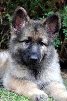 Ellie -New German Shepherd Puppy 15 weeks old