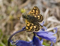 Chequered Skipper Butterfly - Allt Mhuic, Scottish Highlands