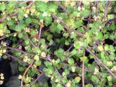 Muehlenbeckia complexa, coastal groundcover, spread, can be used as a climber, coastal restoration. Native Gardens, Climber, Native Plants, Garden Plants, Garden Design, Coastal, Restoration, Flora, Trees