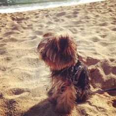 #dog #partiyorkie #yorkies #yorkiepuppy #yorkieofintagram #lovemypuppy #puppiesofinstagram #puppies #bearfacepuppy #woofwoofpuppies #whatpet #purseyyorkie #lacyandpaws #bestwoof #instaanimals #cannabits #badalona #platja by yves_lechien
