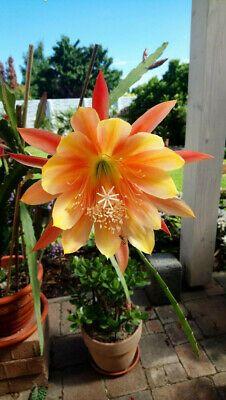 Epiphyllum Epikakteen Epikaktus King Midas, Steckling King Midas, Ebay, Youtube, Ideas, Cactus Flower, Plants, Cacti, Succulents, Landscapes