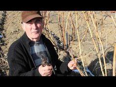 Cum sa taiem corect vita de vie in uscat, primavara ? - YouTube Fruit Trees, Youtube, Grape Vines, Garden Tips, Photography, Gardening, Agriculture, Plant, Photograph