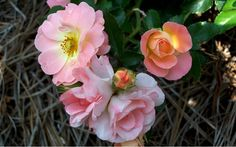 Peach Drift Rose Rosaceae Rosa Peach Drift is a Moderate growing Shrub, Groundcover, Rose with a Medium Green, Dark Green foliage color that attracts Butterflies, Visual Attention. Ground Cover Roses, Drift Roses, Buy Plants Online, Rare Plants, Plant Design, Land Scape, Shrubs, Roots, Peach