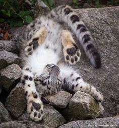 Leave it to a cat! This young snow leopard displays the incredible flexibility of the cat family which often leaves them in silly poses. http://www.snowleopard.org/