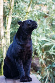 A black panther is the melanistic color variant of any big cat species. Black panthers in Asia and Africa are leopards (Panthera pardus), and those in the Americas are black jaguars Big Cats, Cats And Kittens, Cute Cats, Black Panthers, Beautiful Cats, Animals Beautiful, Black Panther Cat, Big Cat Family, Panther Pictures