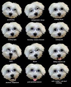 Image result for Maltese dog facial gestures