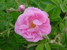 """Rosa X damascena 'Trigintipetala' ou 'Kazanlik"""" exhale un puissant parfum de rose. Il est cultivé en Bulgarie pour la production d'essence de rose.  Ce grand arbuste (1,60 à 2 m) à forte végétation, extrêmement sain porte des fleurs doubles de 7 cm, rose moyen.   Cette variété est parfaite pour réaliser des gelées, confitures et des pots-pourris. Damascena, rosier botanique.  Hybrideur inconnu, 1889."""