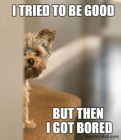 Truth about yorkies 🙄 Yorkies, Yorkie Puppy, Teacup Yorkie, Maltipoo, Yorshire Terrier, Silky Terrier, Baby Dogs, Pet Dogs, Pets