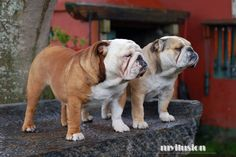 Larry y Lady. Myilusion Bulldogs.
