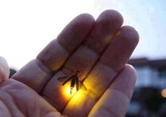 Catching the Light emitting Insect and watching its glow is not just kids play, we all love it, right !!