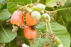 Stage 2 Cashew Tree, Fruit Trees, Panama, Stage, Google Search, Food, Panama Hat, Essen, Meals