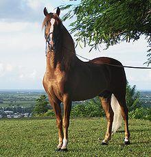 """Colombian Criollo Horse """"Paso Fino"""""""