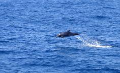 Um dos golfinhos mais comuns em Galápagos é o nariz-de-garrafa, avistado normalmente em grupos de 20 a 30 indivíduos. Frequentemente saltam para fora d'água, no que pode ser uma tentativa de se livrar de parasitas ou pura diversão: http://abr.io/4g3r