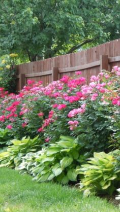 Knockout roses & Hosta plants