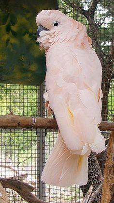 Molluccan Cockatoo <3