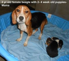 Mama + Puppies Listed on DogsInDanger: By shelter: Bladen County Animal Shelter in Elizabethtown, NC. Date Adopted: Success Story: Mama and puppies and all her beagle friends have gone to a great rescue. Puppy List, Animal Rescue Stories, Dead Dog, Homeless Dogs, Faith In Humanity Restored, Success Story, My Heart Is Breaking, Pet Store, Animal Shelter