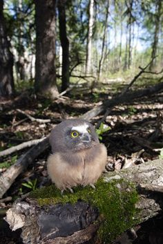 """Cute Baby Owlet:  """"Gosh! I'm really looking forward to growing up ~ so I can fly up there ~ amongst those clouds!"""""""
