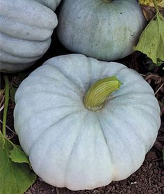 Pumpkin, Jarrahdale