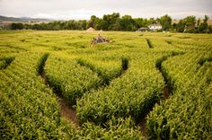 At the Denver Botanic Gardens Chatfield, they have an 8-acre corn maze this fall in addition to the pumpkin fest where you can pick your own pumpkin. Fall is my favorite season.