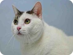 Brooklyn, NY - Domestic Shorthair. Meet SERENITY, a cat for adoption. http://www.adoptapet.com/pet/16297758-brooklyn-new-york-cat