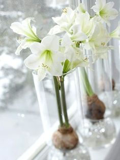 An Anglo in Québec: Amaryllis and Paperwhites