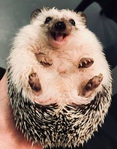 35 Pictures Of The Cutest Hedgehog You Will See Today | CutesyPooh Laughing Animals, Smiling Animals, Happy Animals, Cute Funny Animals, Cute Baby Animals, Hedgehog Pet, Cute Hedgehog, Cute Dogs And Puppies, Pet Dogs
